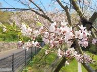 大磯小桜が開花