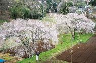 「まつもと滝桜」降り注ぐ