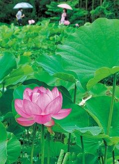 「中井蓮池の里」で咲いたハス(7月24日撮影)