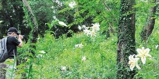 「友情の山」に自生するヤマユリの花(7月24日撮影)