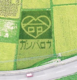 中井町役場付近に作られた田んぼアート(同町提供・9月17日撮影)