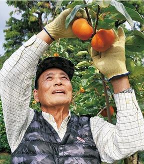 大玉柿を収穫する鈴木さん