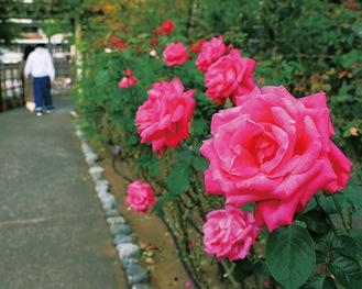 園内に咲き誇る四季咲きのバラ