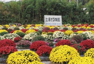 園内を覆うように咲いたザル菊(11月6日撮影)