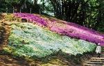 吾妻山公園のシバザクラ(4月12日撮影)