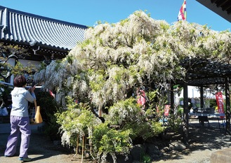 等覚院で咲いた白いフジの花(4月19日撮影)