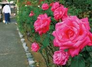 バラ栽培の実技指導も