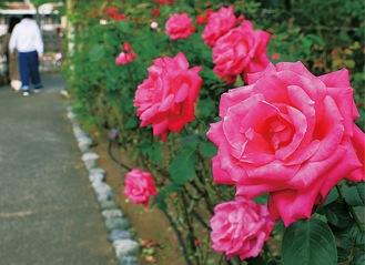 大磯城山公園のバラ(過去に咲いたときのもの)