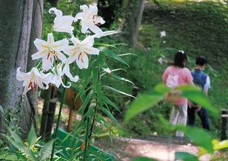 1株に幾つもの花を咲かせたヤマユリ(7月23日撮影)