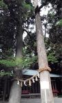 御神木の夫婦杉。2011年9月に左の木が台風で倒れた(同年6月、川勾神社撮影)