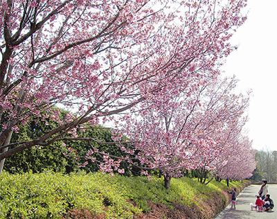 心なごむ桜の便り