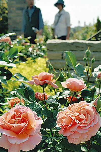 1100本のバラが見ごろ