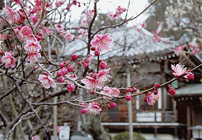 春へ一歩 ようやく梅の香