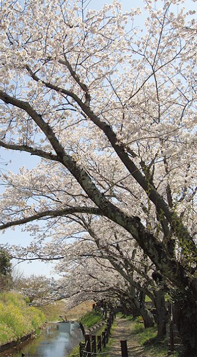 桜見所スポット