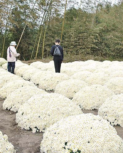 ざる菊が白に変身