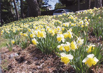 春めく水仙ロード
