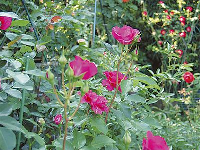 300種類のバラの庭