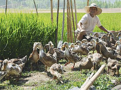 鴨たちと作る大磯の米