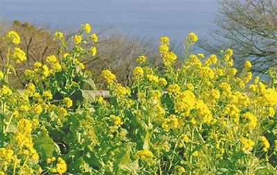 吾妻山から菜の花の便り
