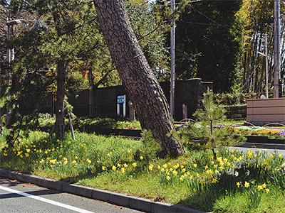 陽春に咲く水仙の花
