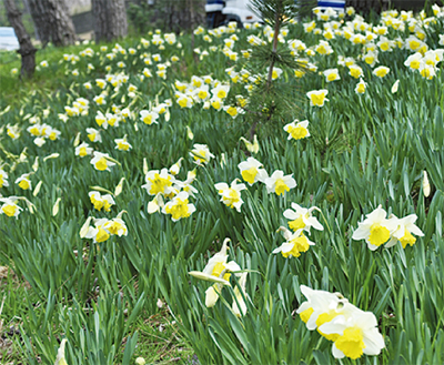 """""""春""""告げる水仙の花"""