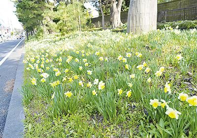 松並木の足元 春満開
