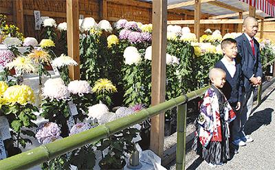 菊花も七五三祝う