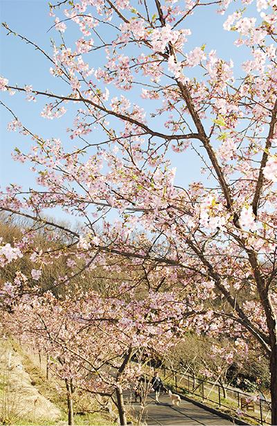 河津桜 春告げる