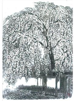 城山の枝垂れ桜