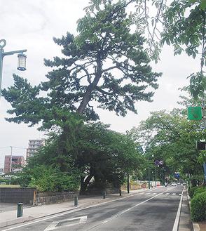芸術文化創造センター建設予定地にそびえる松は、340年前に植樹されたものとの記録が残っている