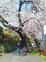 住民の声で桜の伐採中止