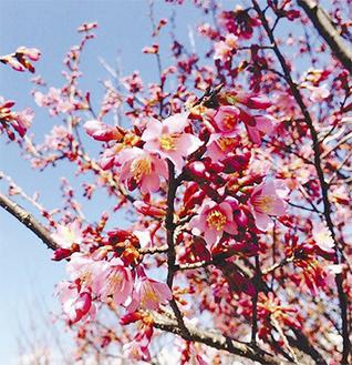 3分咲きのおかめ桜(2月27日撮影)