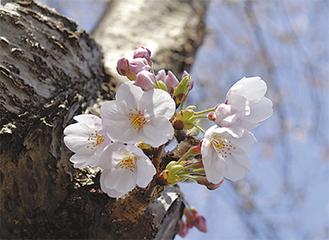 伐採中止となった桜も開花