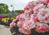 145品種のバラが満開