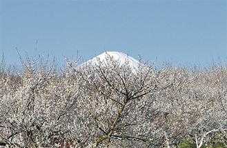 富士山も望める曽我の梅林