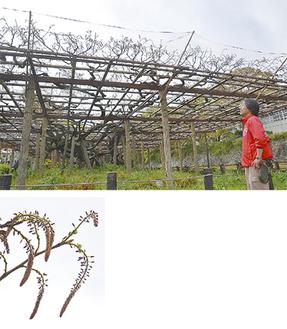 上)藤の生育を見守る二見さん/下)現在、花房は10cmほど=4月18日