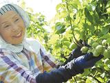 主に梅酒に用いられる品種「白加賀」