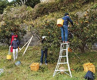 ミカンを収穫する参加者