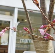 商店街に、おかめ桜