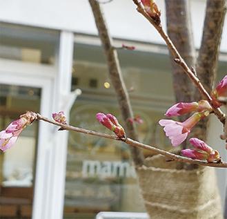 mame元カフェ前の桜