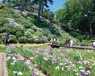 小田原城本丸東堀・花菖蒲園で開花したアジサイとハナショウブ(6月3日撮影)