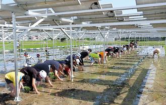 田植えをする参加者の頭上に並ぶ、太陽光パネル