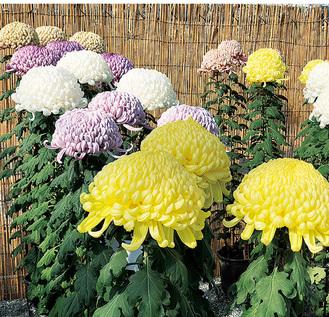 菊花展に出品された菊