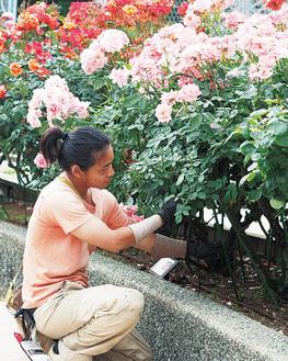 バラの手入れをする造園師の柏木さん
