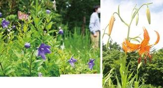 ススキ草原の植物区にあるキキョウ(左)、高山のお花畑と岩場植物区に咲くコオニユリ(7月18日撮影)