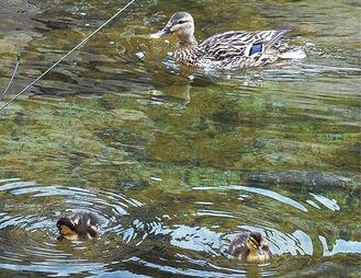 母ガモと一緒に泳ぐヒナ