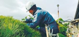 植木剪定の作業風景