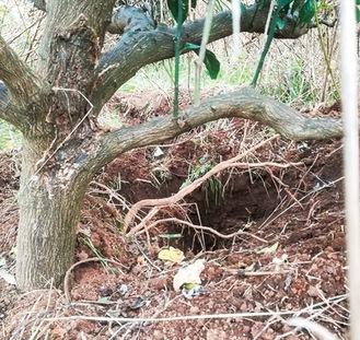 イノシシなどにより、畑の木の根が露わに(あきさわ園提供)