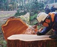 三百年杉を伐倒
