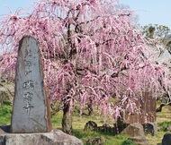 花の寺に佇む「しだれ梅」
